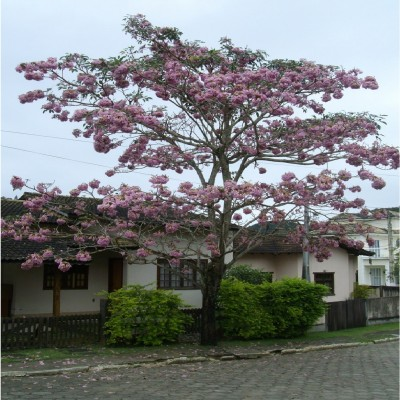 IPÊ - ROSA (PANAMÁ)