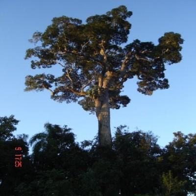 PEROBA - ROSA